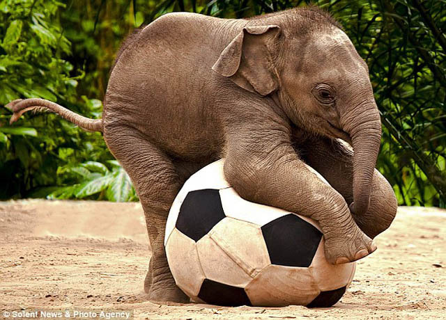 beautfiul-baby-elephant-with-football-4.jpg
