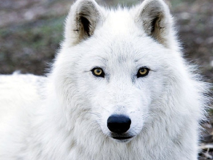 dog-one-dogs-wolf-wolves-animals-beautiful-3d-animated-wallpaper.jpg
