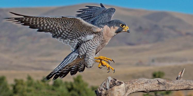 peregrine-falcon_dawnkey-istock.png