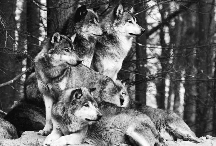 wolf-family-11.jpg